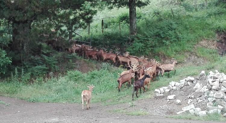 cabras en el exterior
